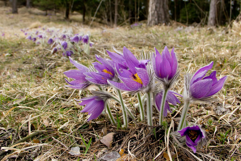 Pasque Flower image stock
