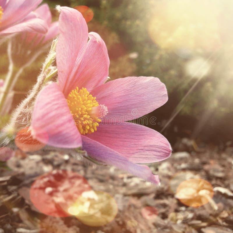 Pasque Flower immagini stock