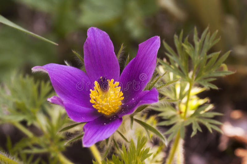 Pasque Flower images stock