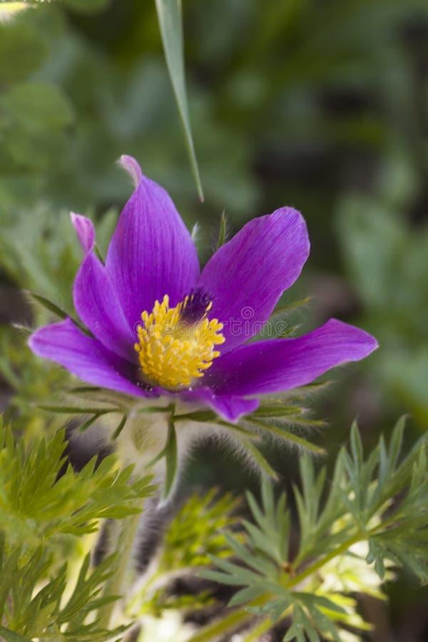 Pasque Flower photos libres de droits