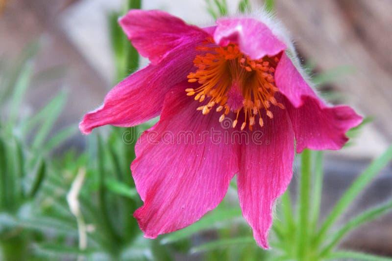 Pasque Flower lizenzfreie stockfotos