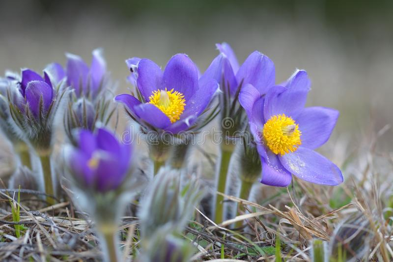 Pasque Flower fotos de stock