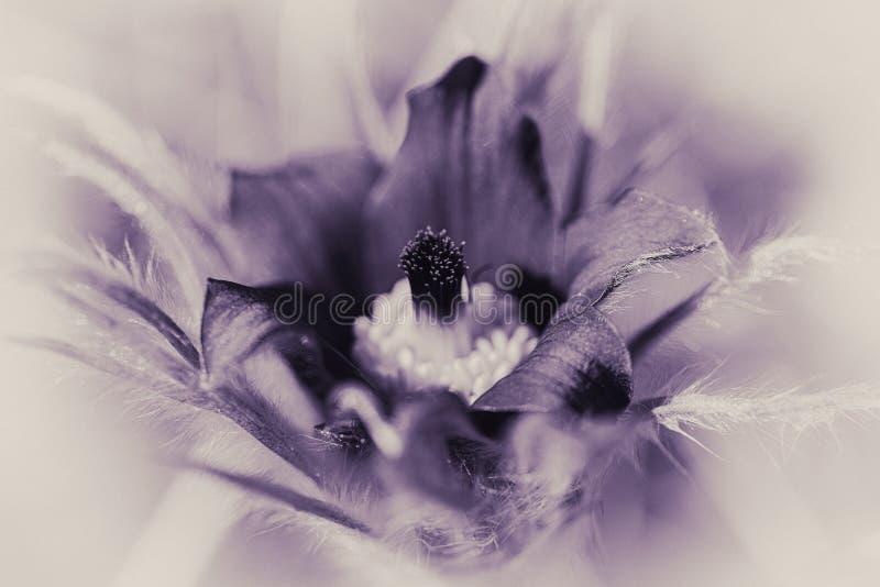 Pasque Flower - black and white - purple tint stock photo