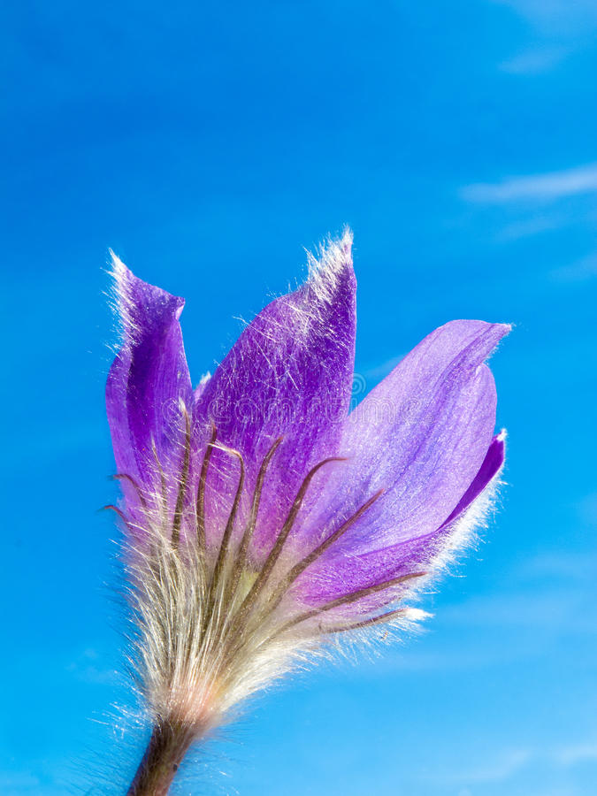 Download Pasque Flower Close-up Against Blue Sky Stock Photo - Image: 19871344