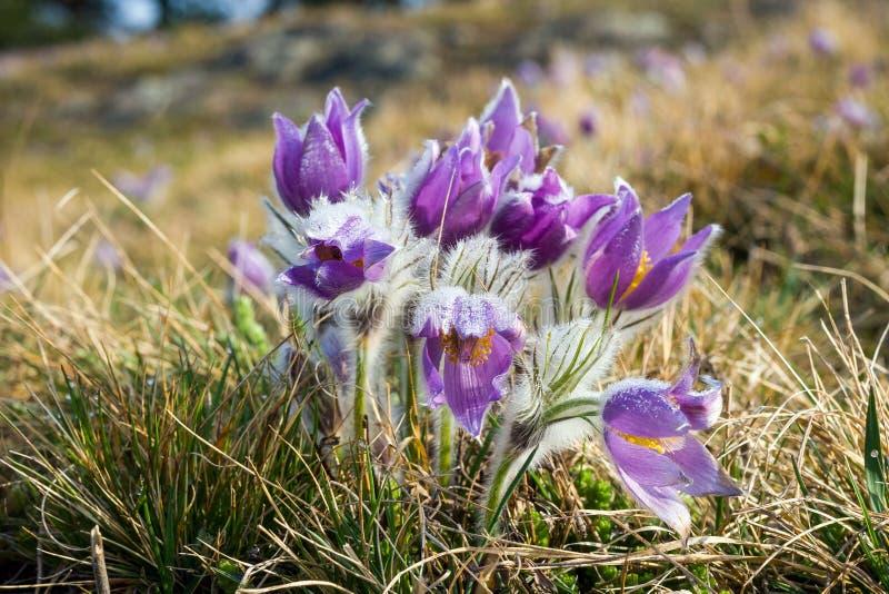 Pasque Flower de floraison sur le pré images libres de droits