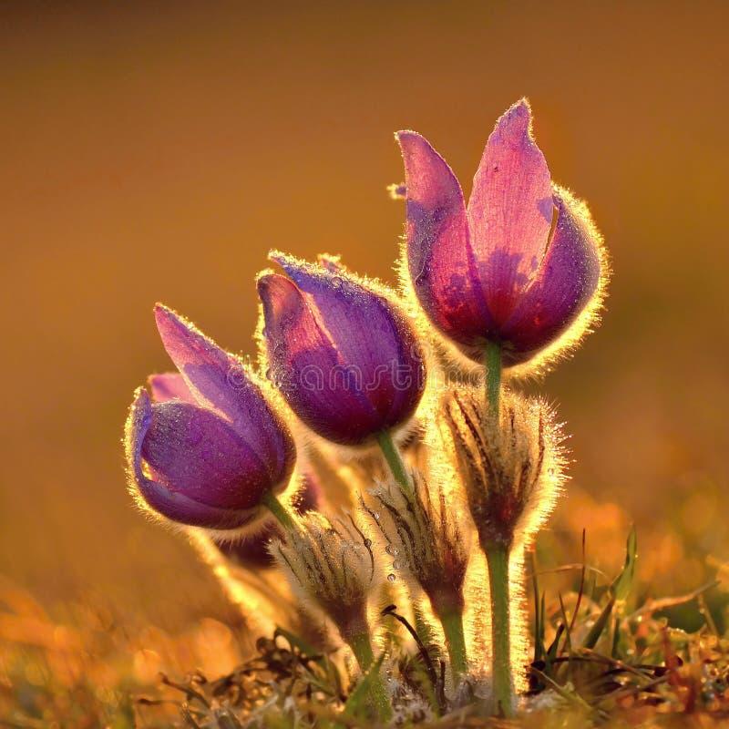 Pasque Flower, der auf Frühlingswiese bei dem Sonnenuntergang - Pulsatilla grandis blüht Geldstrafe unscharfe Farbe des natürlich stockfotografie
