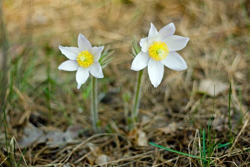 Pasque Flower die op de lenteweide bloeien - Pulsatilla De boete vertroebelde natuurlijke achtergrond plantkunde stock foto