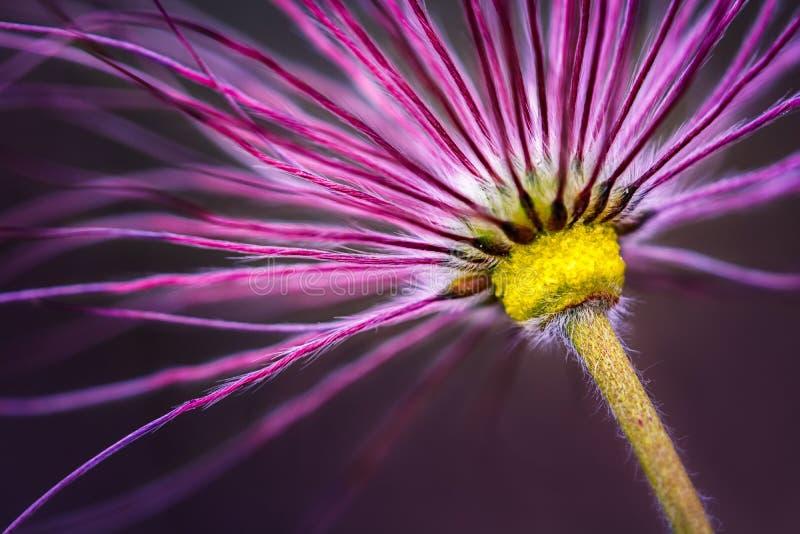 Pasque Flower Faded fotografie stock