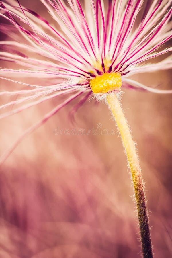 Pasque Flower Faded photo libre de droits