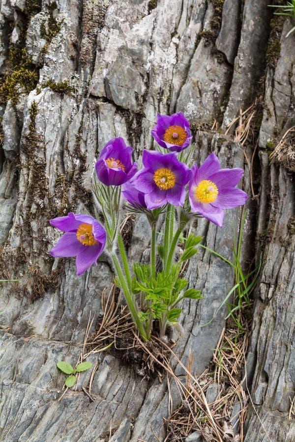 Pasque Flower na mola fotos de stock royalty free