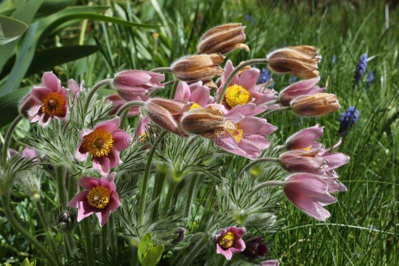 Pasque-flower stock image