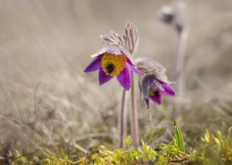 Pasque flower is a low-growing perennial. Pasque flower pulsatilla pratensis is a low-growing perennial plant stock photos