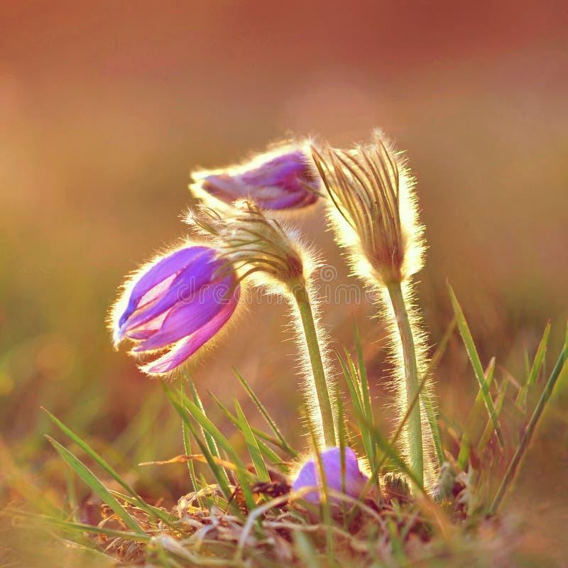 Pasque Flower que florece en el prado en la puesta del sol - grandis de la primavera del Pulsatilla Color de fondo natural borros foto de archivo