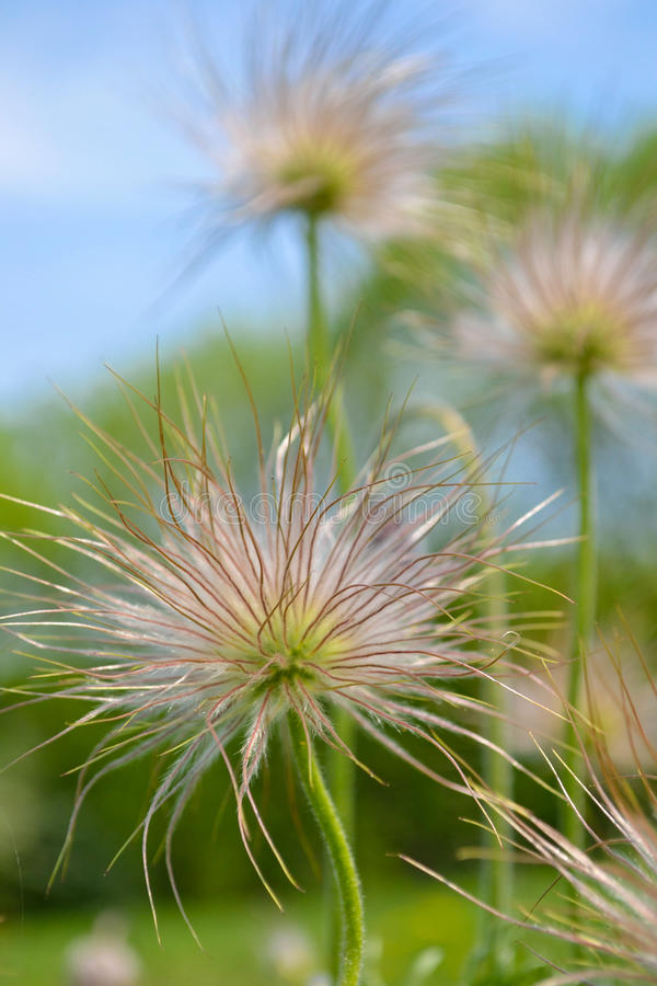Pasque Flower Seeds Royalty Free Stock Photography - Image ...
