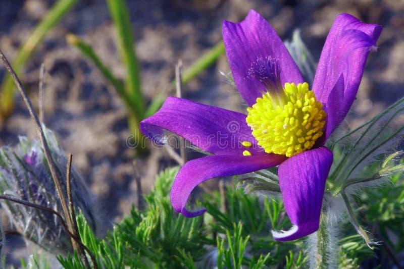 Pasque Flower stock photos