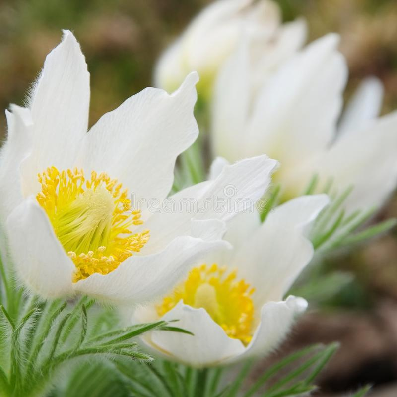 Pasque flower white royalty free stock photography