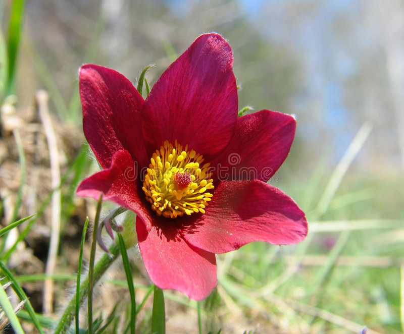 Pasque-flowers royalty free stock image