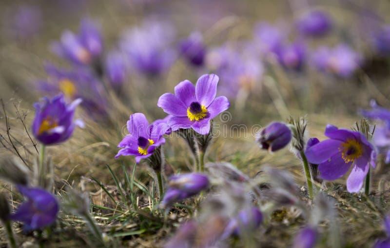 Pasque Flowers en la primavera fotografía de archivo