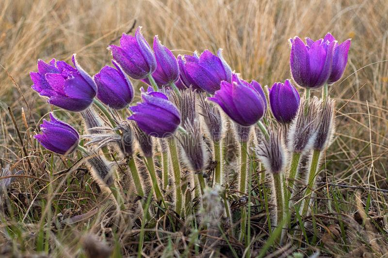 pasque flowers (Pulsatilla grandis) with drops of water, beautiful spring flower royalty free stock photos