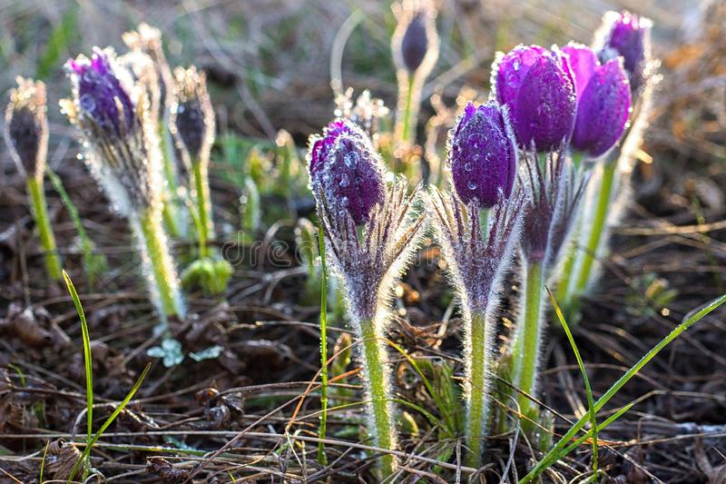 Pasque flowers (Pulsatilla grandis) with drops of water, beautiful spring flower. Greater pasque flowers (Pulsatilla grandis) with drops of stock photography