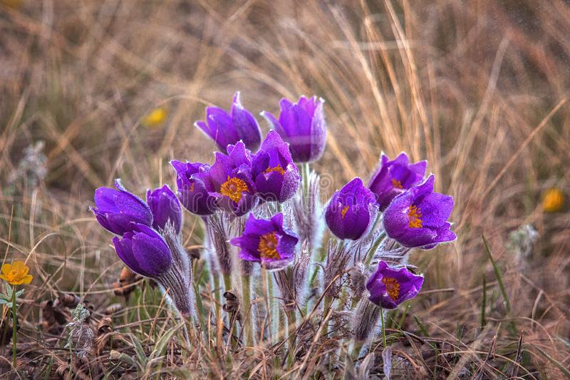 Pasque flowers (Pulsatilla grandis) with drops of water, beautiful spring flower. Greater pasque flowers (Pulsatilla grandis) with drops of royalty free stock image