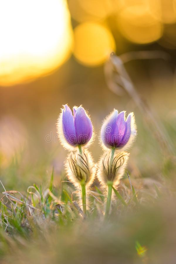 Pasque pulsatilla flower. Spring blossom on the sunset background, blooming meadow. Nice detail, colorful bokeh. stock photography