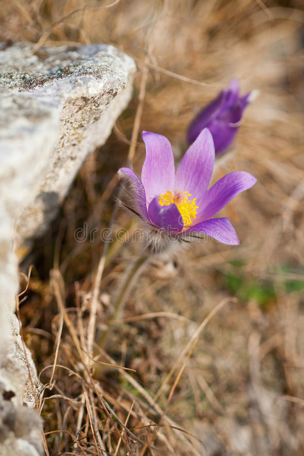 Download Pasque Wild Flower Stock Images - Image: 29366664