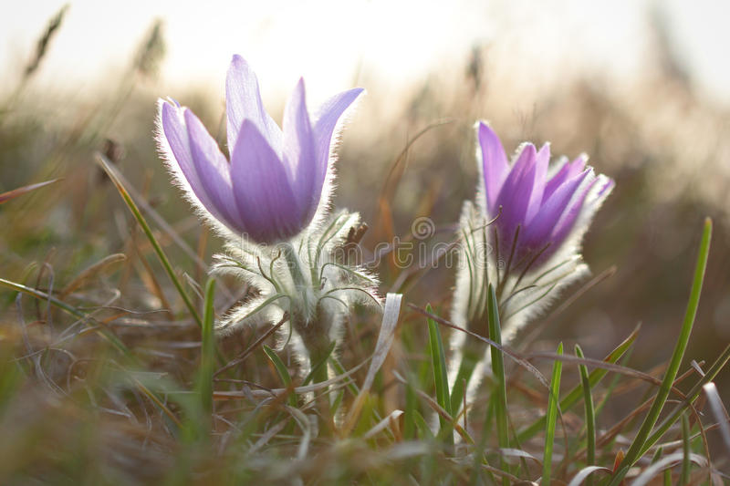 Pasque wild flowers blooming in springtime stock photo