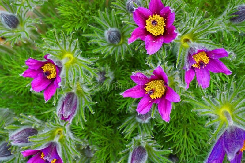 pasqueflower作为非常好的春天花 免版税库存照片