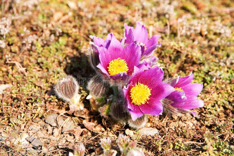 Pasqueflower photo stock