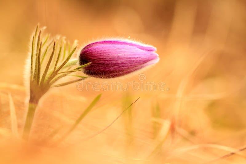 Pasqueflower lizenzfreies stockbild
