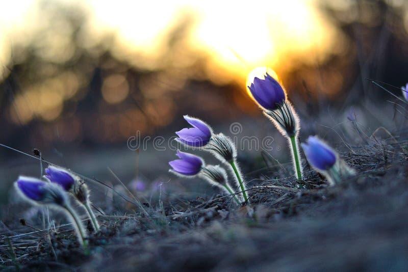 Pasqueflower royaltyfri bild