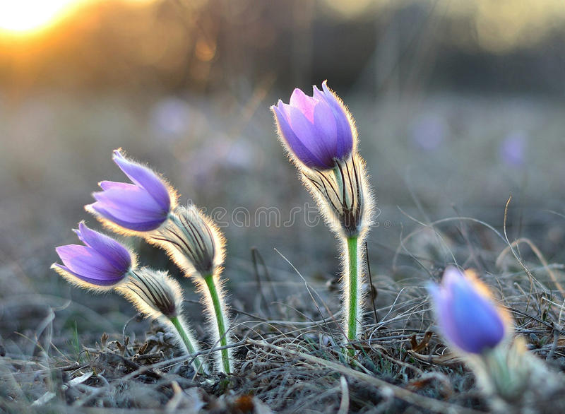 Pasqueflower lizenzfreies stockfoto