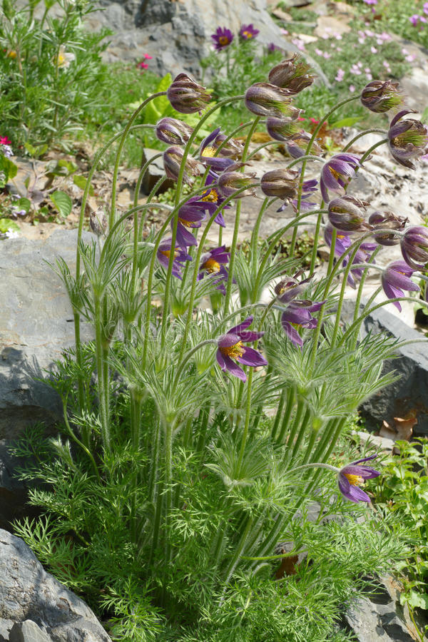 Pasqueflower image stock