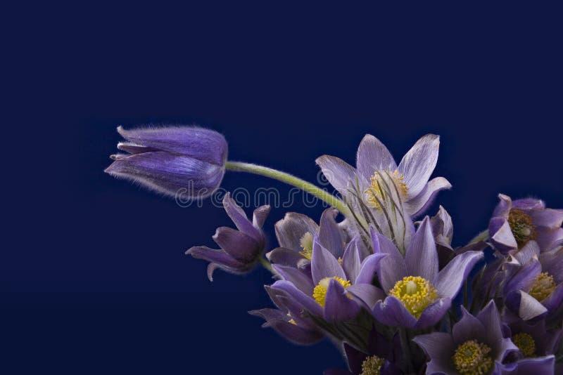 Pasqueflower on darkblue background stock image
