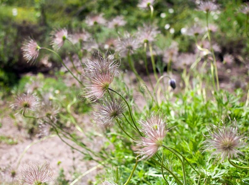 Pasqueflower de la floración de las flores imagen de archivo