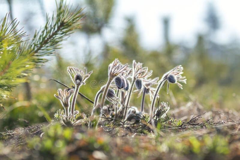 Pasqueflower del este, azafrán de la pradera, anémona del cutleaf (pratensis del Pulsatilla fotos de archivo