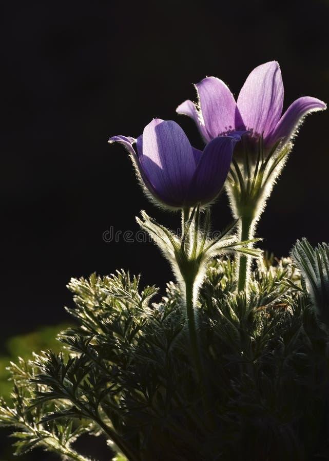 Pasqueflower in der Dämmerung lizenzfreie stockbilder