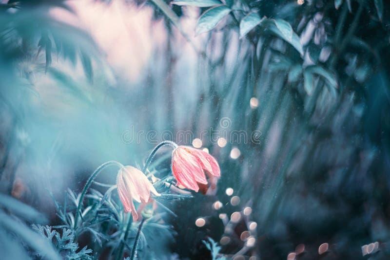 Pasqueflower orientale dei patens del Pulsatilla del bello fiore lanuginoso porpora in molla in anticipo Arte fantasia fotografia stock