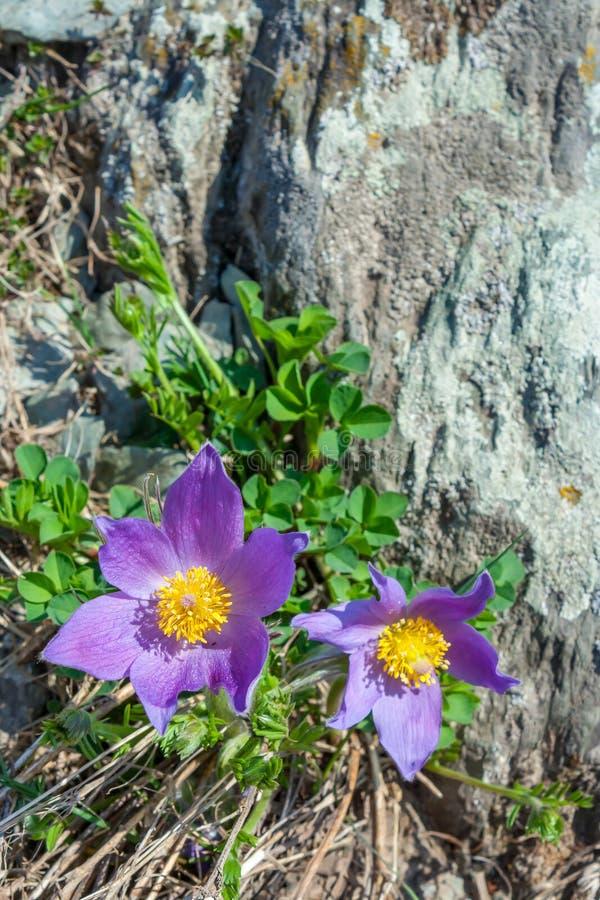 Pasqueflower or Sleep-grass Pulsatilla patens royalty free stock photo