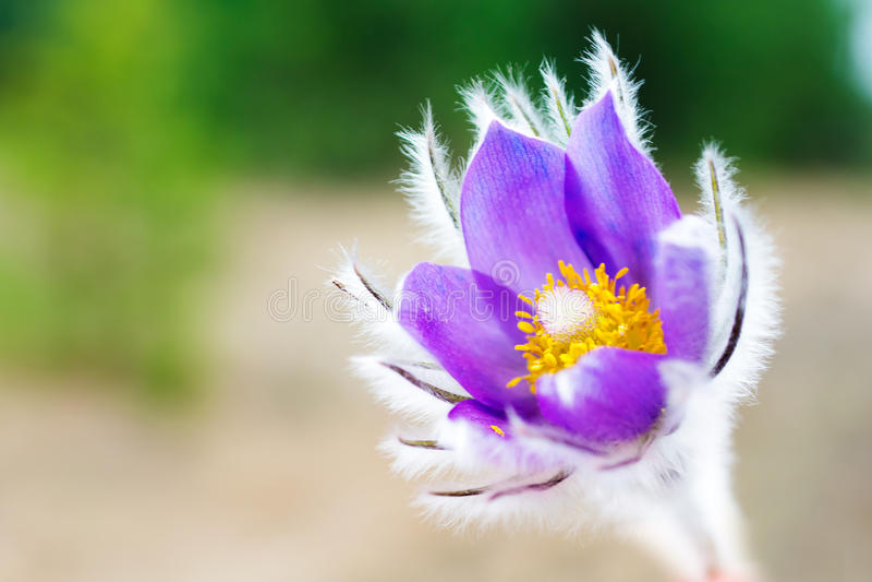 Pasqueflower vulgaris Pulsatilla arkivbild