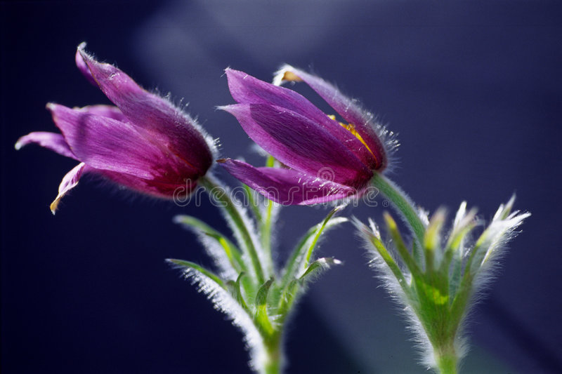 Pasqueflowers foto de stock