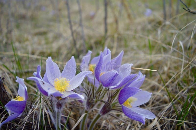 Pasqueflowers 库存照片