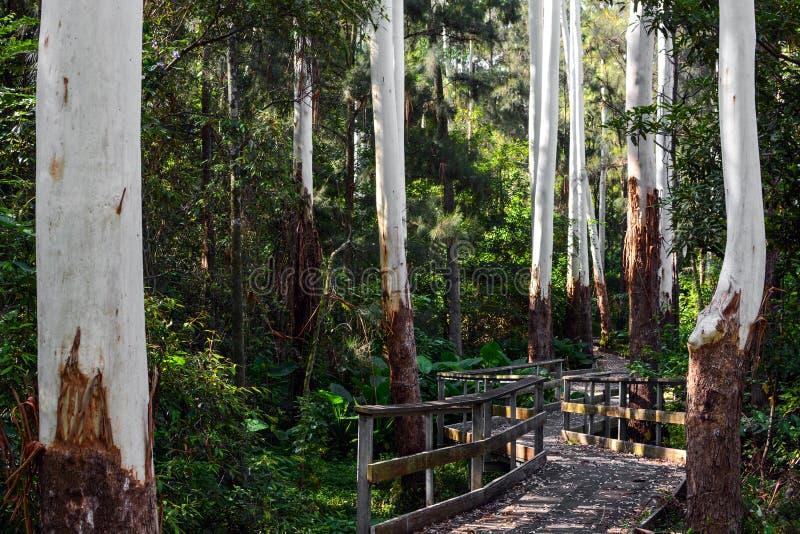 Passage couvert embarqué sur un chemin à travers des arbres d'eucalyptus avec les troncs blancs nus dans NSW, Australie photos libres de droits
