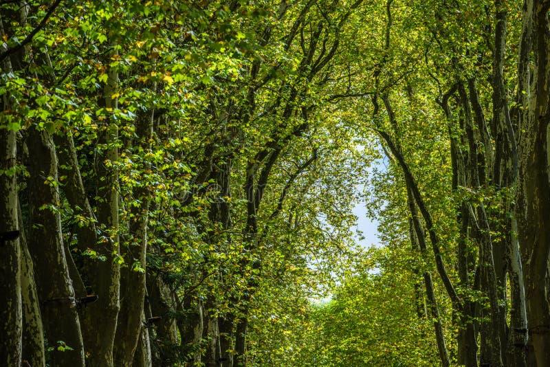Passage couvert, ruelle, chemin avec les arbres verts dans la forêt image libre de droits