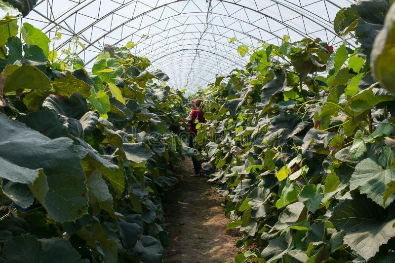 Passage mellan vinrankor i det välvda växthuset arkivfoto
