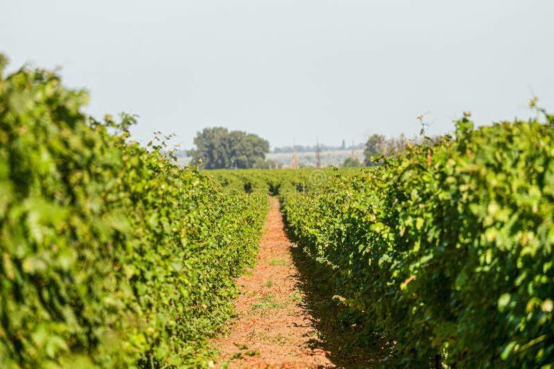 Passage in the rows of green vineyards. Grape vines field in summer. stock images