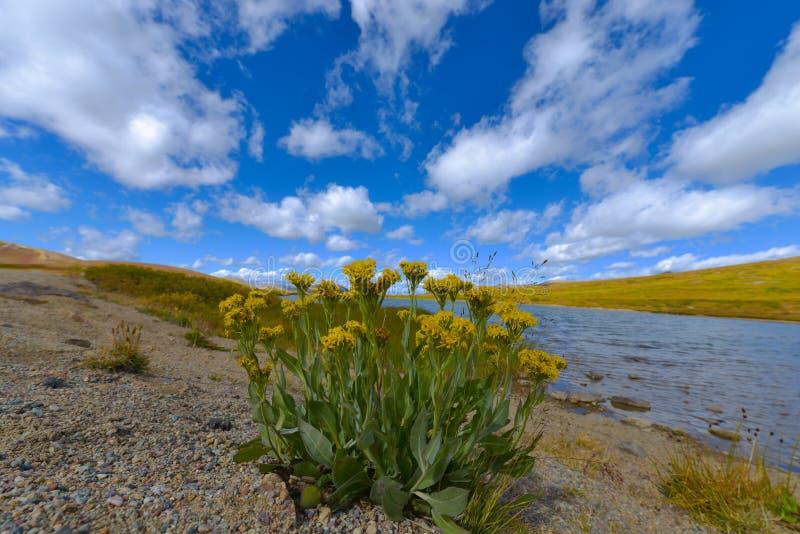 Passagem Colorado da independência das flores selvagens fotografia de stock royalty free