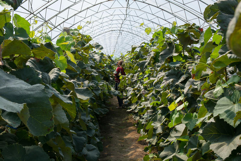 Passageway between vines in the arched greenhouse. stock photo