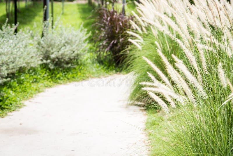 Passaggio pedonale con l'erba della coda della volpe immagine stock
